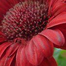 Sandy Red Daisy by Diane Petker