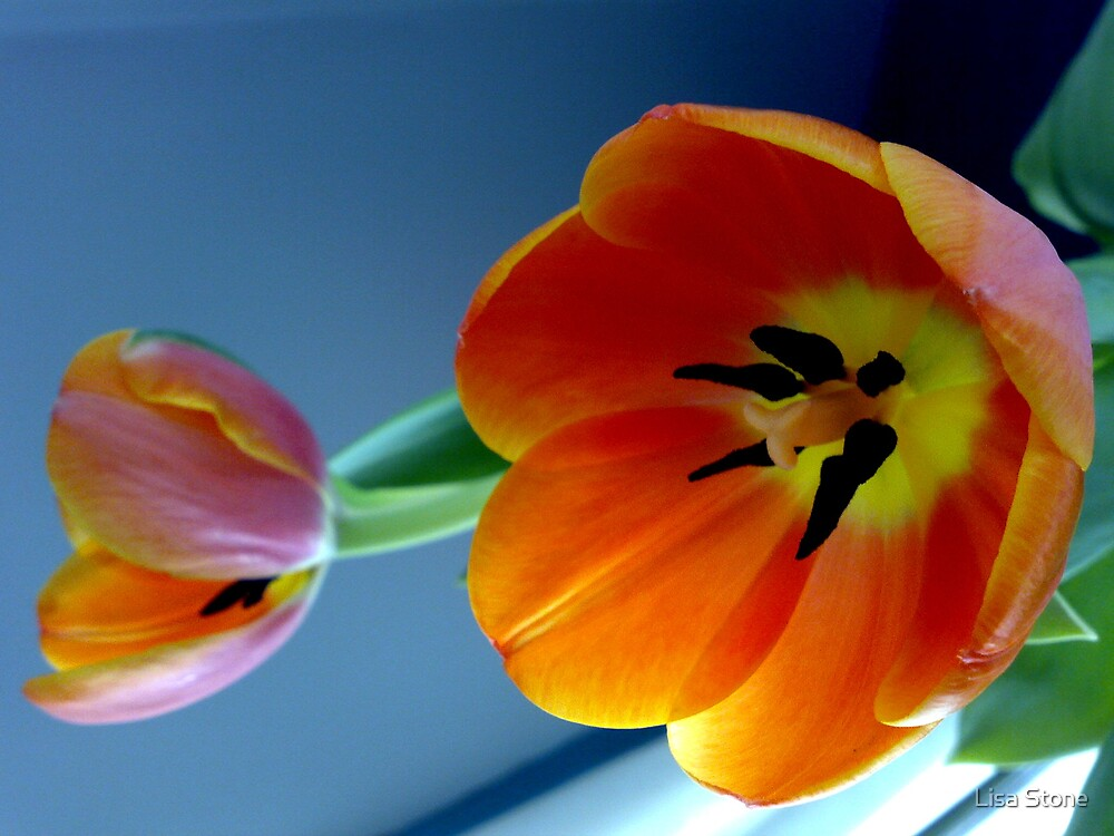Tulips in full bloom 4 by Lisa Stone