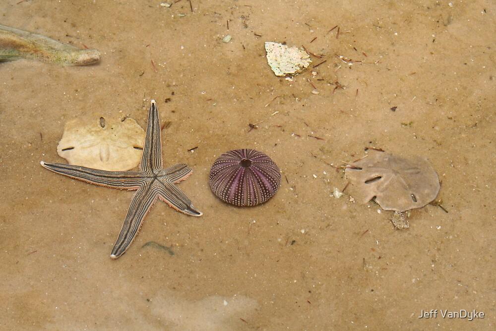 Starfish, Sea Urchin & Sand Dollars by Jeff VanDyke