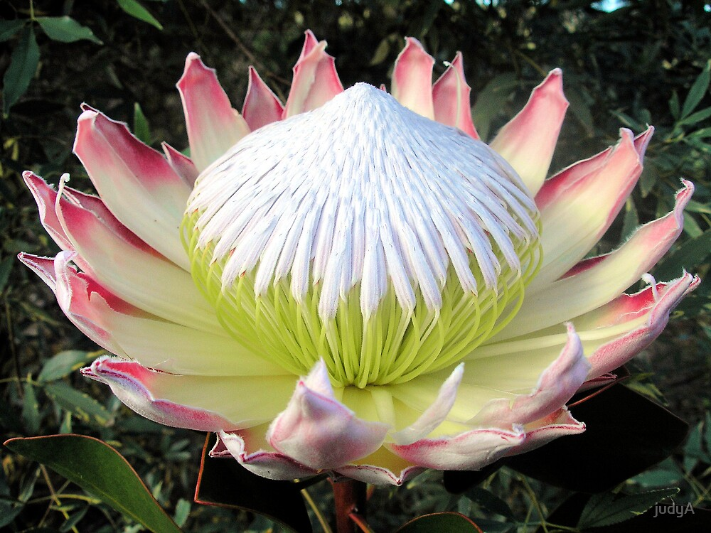 Pink King Protea by judyA