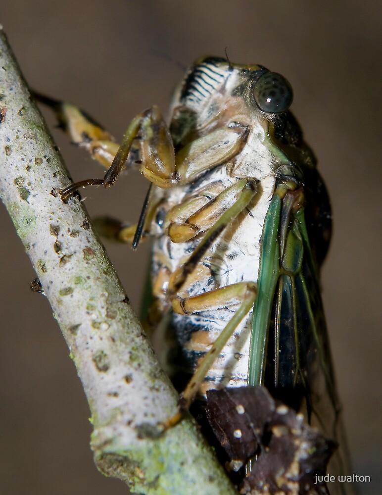 cicada underbelly by jude walton