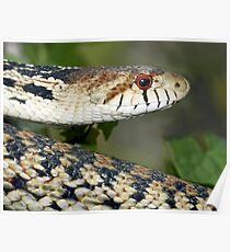 Gophersnake in Santa Barbara County Southern California Poster