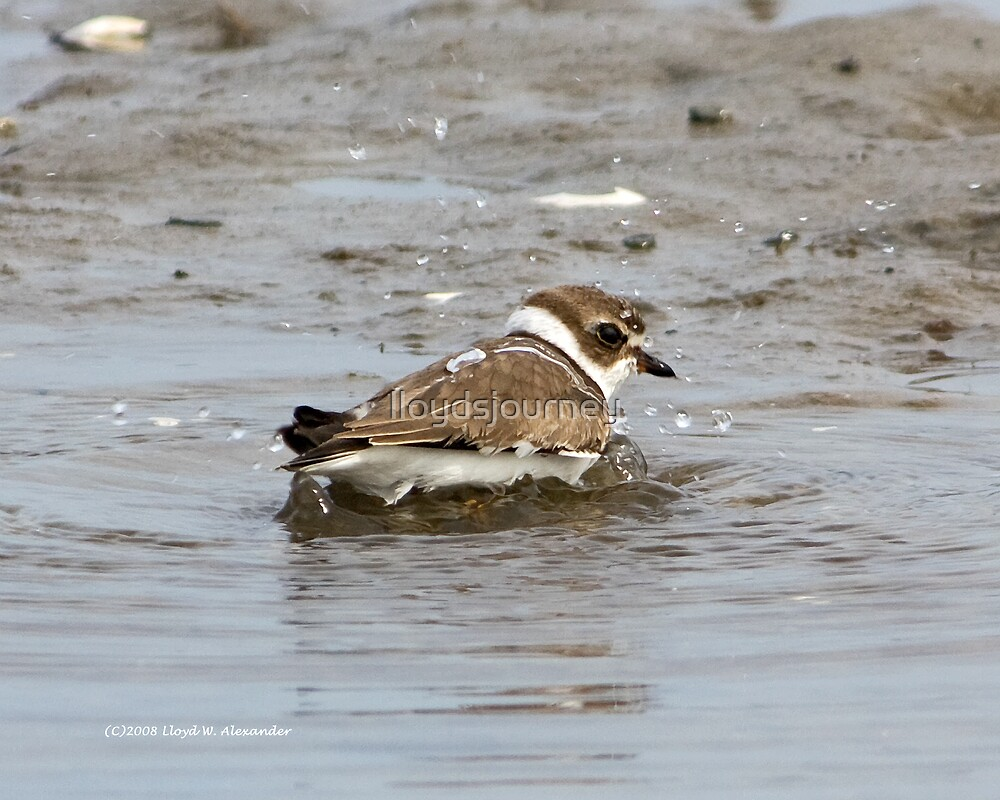 Bath time for a Semipalmated plover by lloydsjourney
