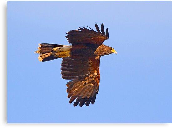 Harris Hawk in Flight by Marvin Collins