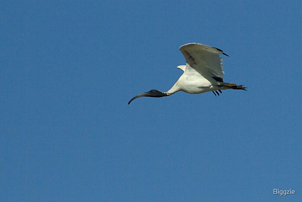 White Ibis by Biggzie