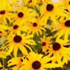 Flower | Flowers | Explosion of Black-Eyed Susans | Nadia Bonello by Nadia Bonello