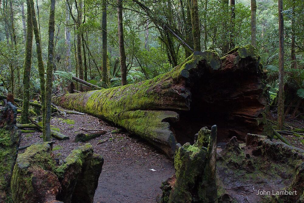 Fallen Tree, Mt Field National Park by John Lambert