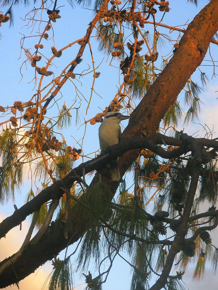 Kookaburra Sits by Melissa Park