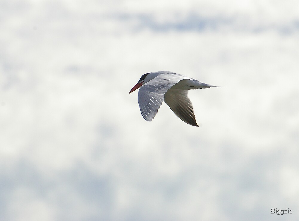 Caspian Tern by Biggzie