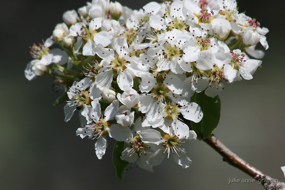 Pear Blossom by julie anne  grattan