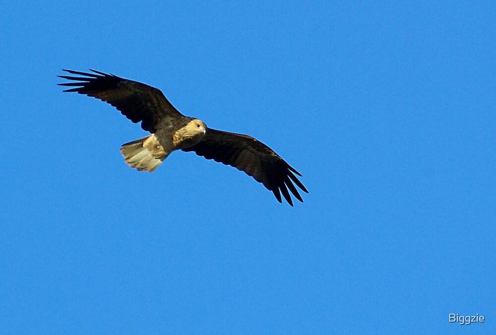 Whistling Kite by Biggzie