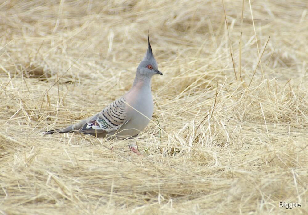 Crested Pigeon by Biggzie