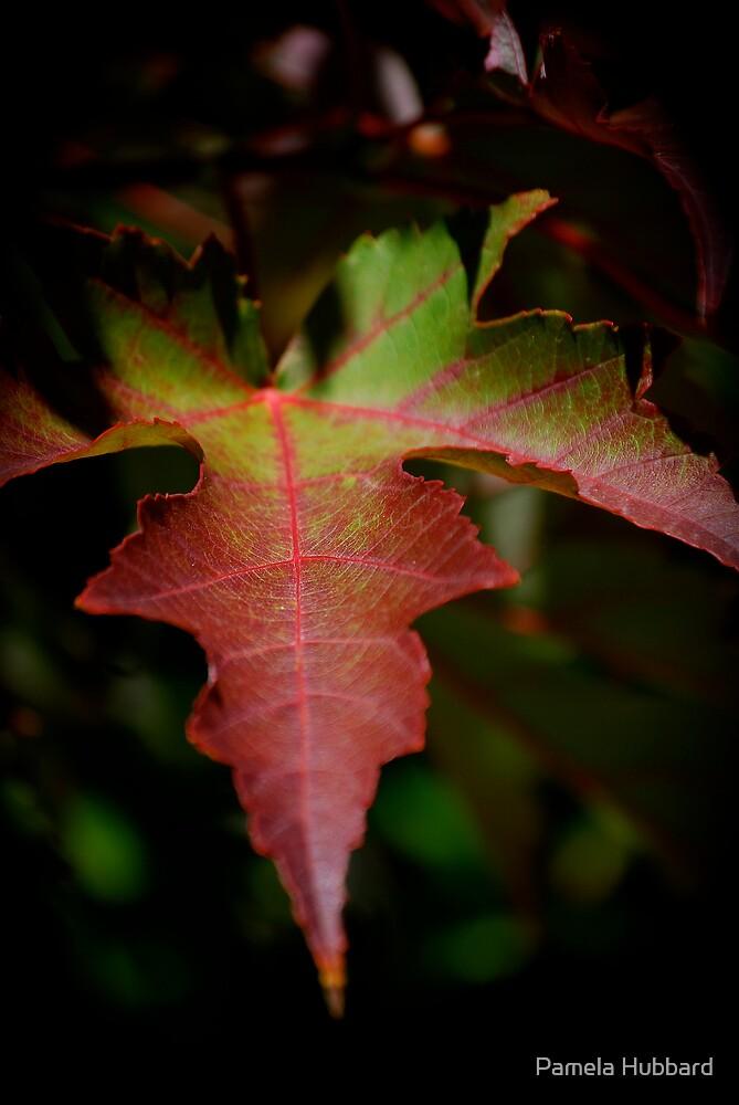 Maple by Pamela Hubbard