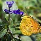 Orange-Barred Sulphur Butterfly by Eyal Nahmias