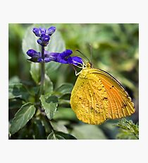 Orange-Barred Sulphur Butterfly Photographic Print