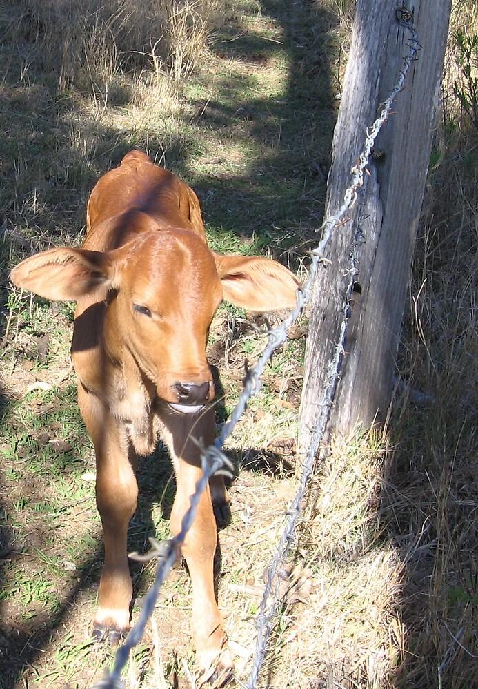 Curious Calf  by Timmeh