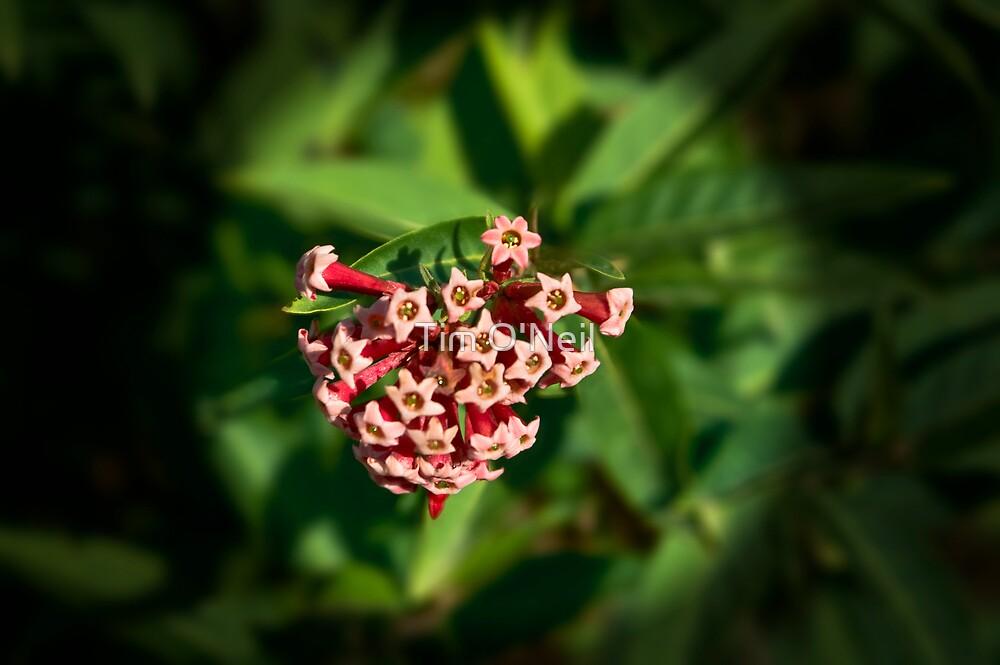 Hoya bloom - I think! by Tim O'Neil
