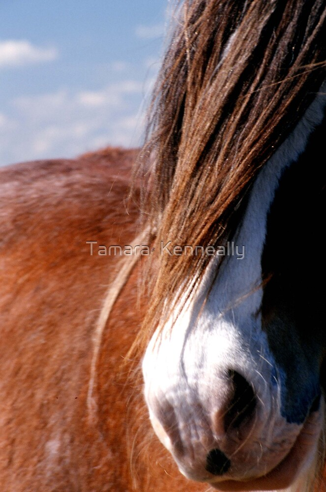 Clydesdale by Tamara  Kenneally