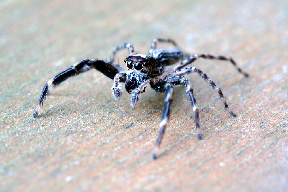 Jumping Spider by clop