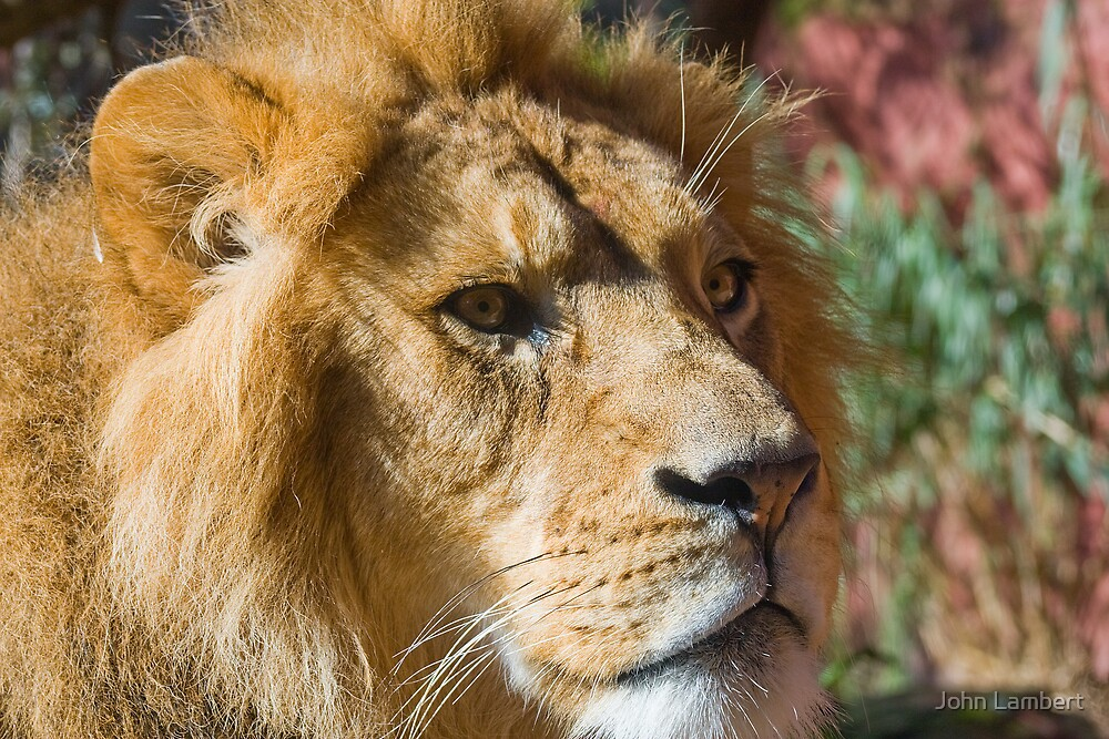 Lion at Taronga Zoo, Sydney by John Lambert