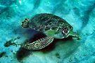 Friendly Sea Turtle by Kasia-D