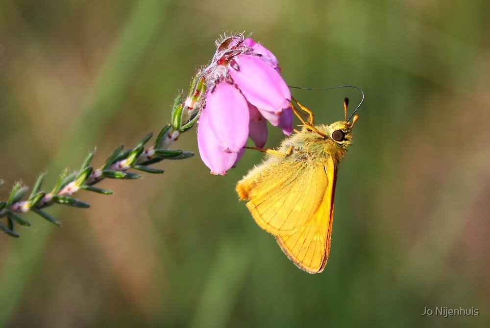 Small Skipper on Erica Tetralix by Jo Nijenhuis