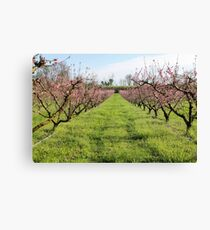 plant of peach Canvas Print