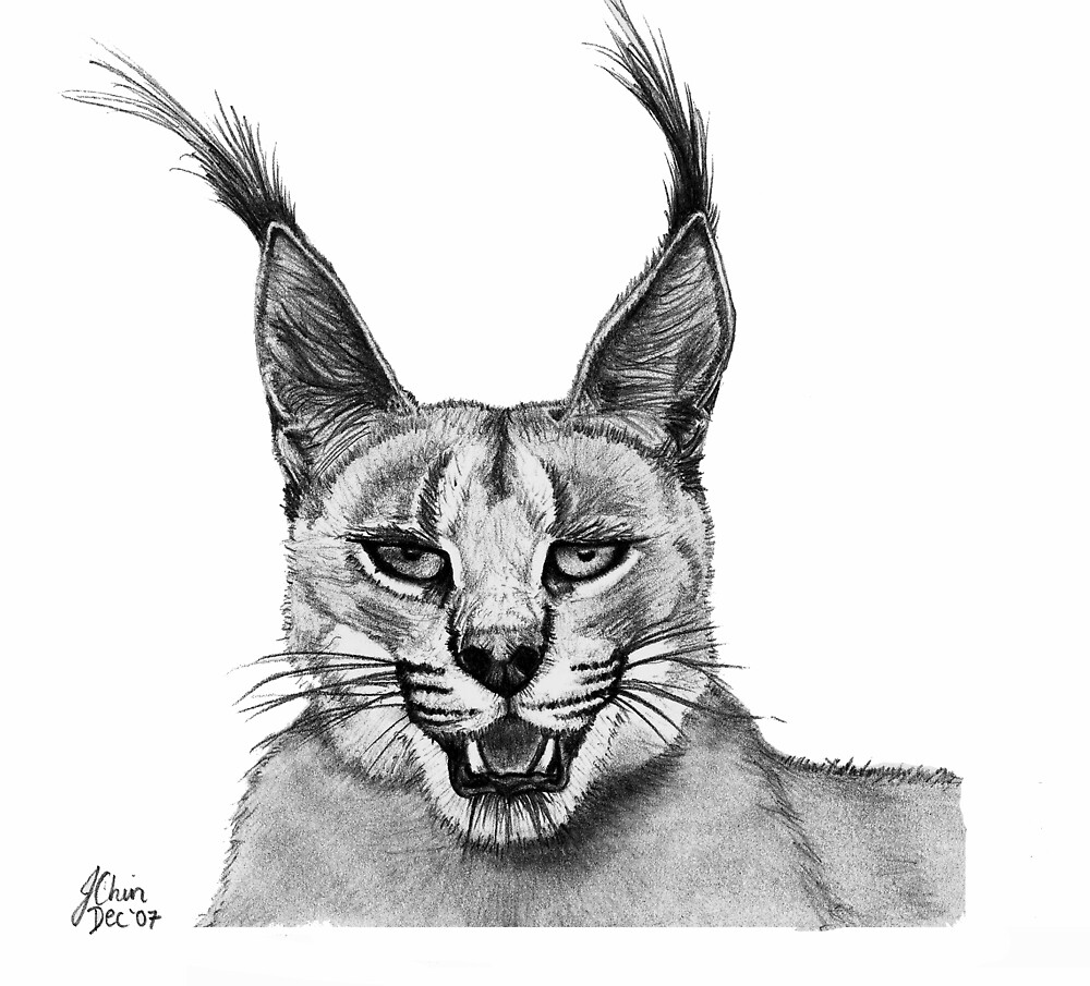 'Tom' -Caracal by Jennifer Chin