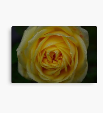 Dewey Rose Canvas Print