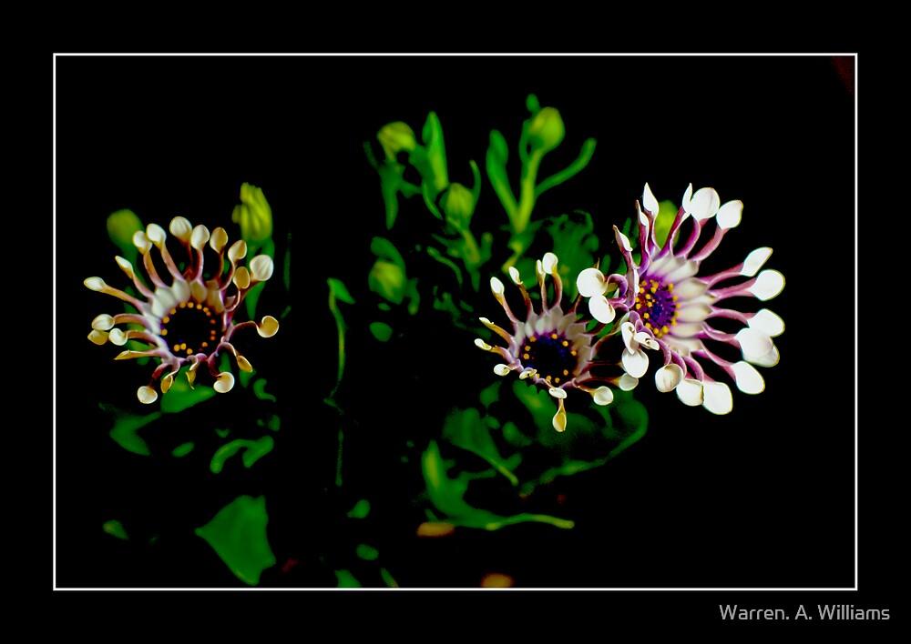 Osteospermun  Serenity Bliss by Warren. A. Williams
