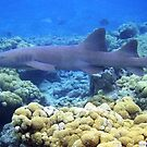 nurse shark at Key West, Florida by chord0