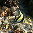 Moorish idol fish in Kona, Hawaii by chord0