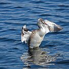 Great Crested Grebe Shaking by kernuak
