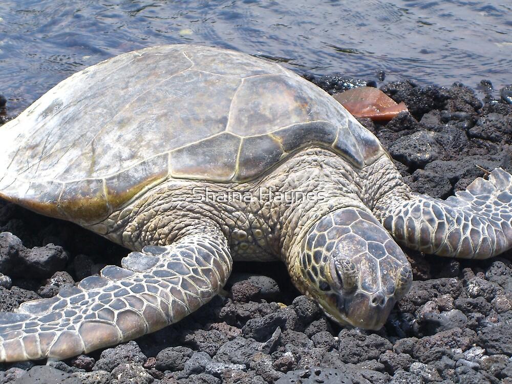 Sea Turtle by Shaina Haynes