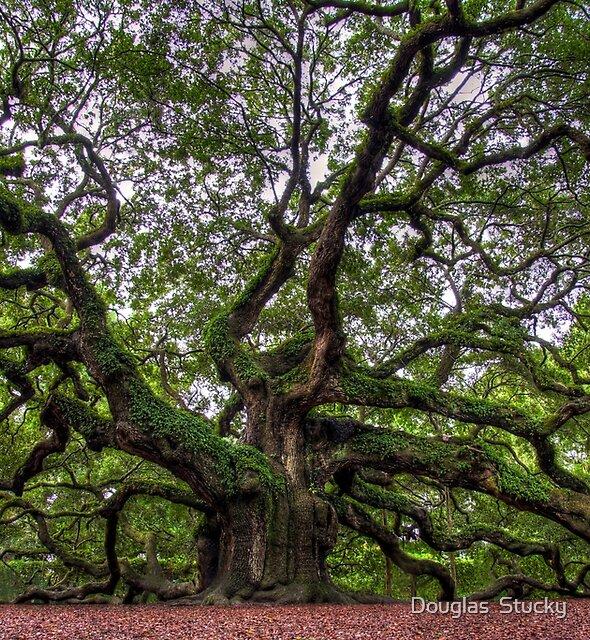 Angel Oak Tree  by Douglas  Stucky