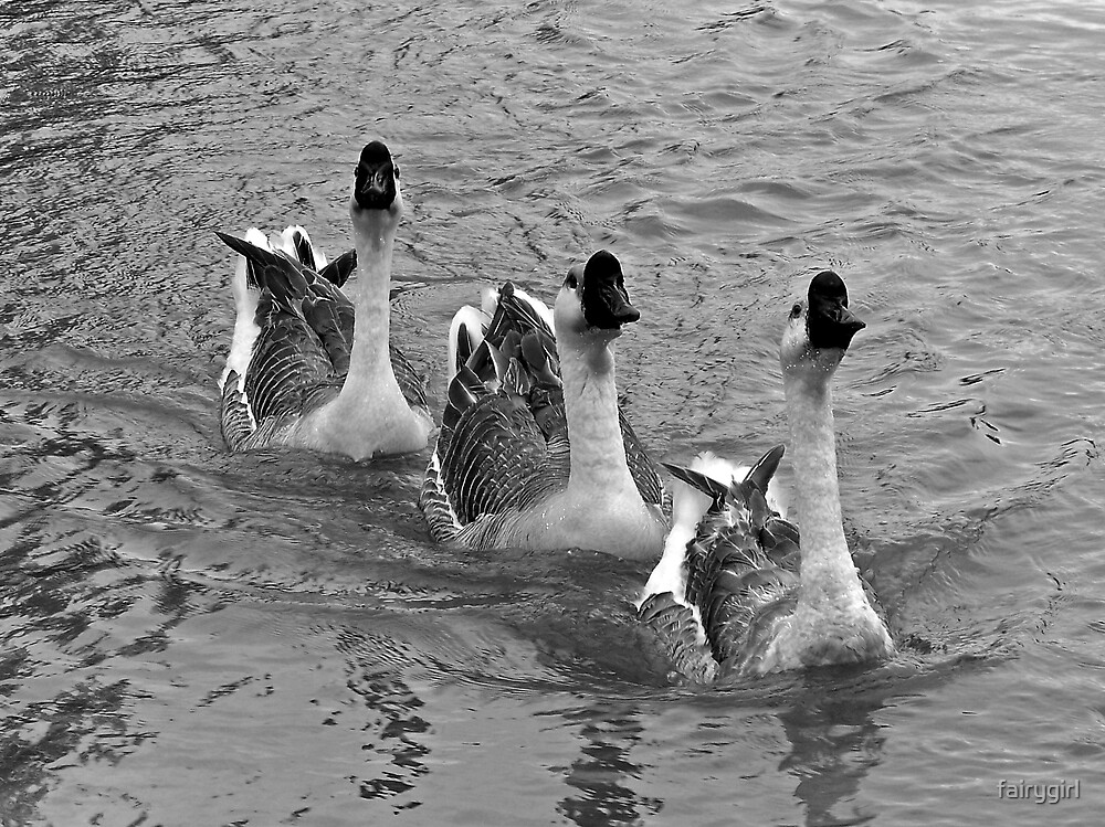 Swimming Geese by fairygirl