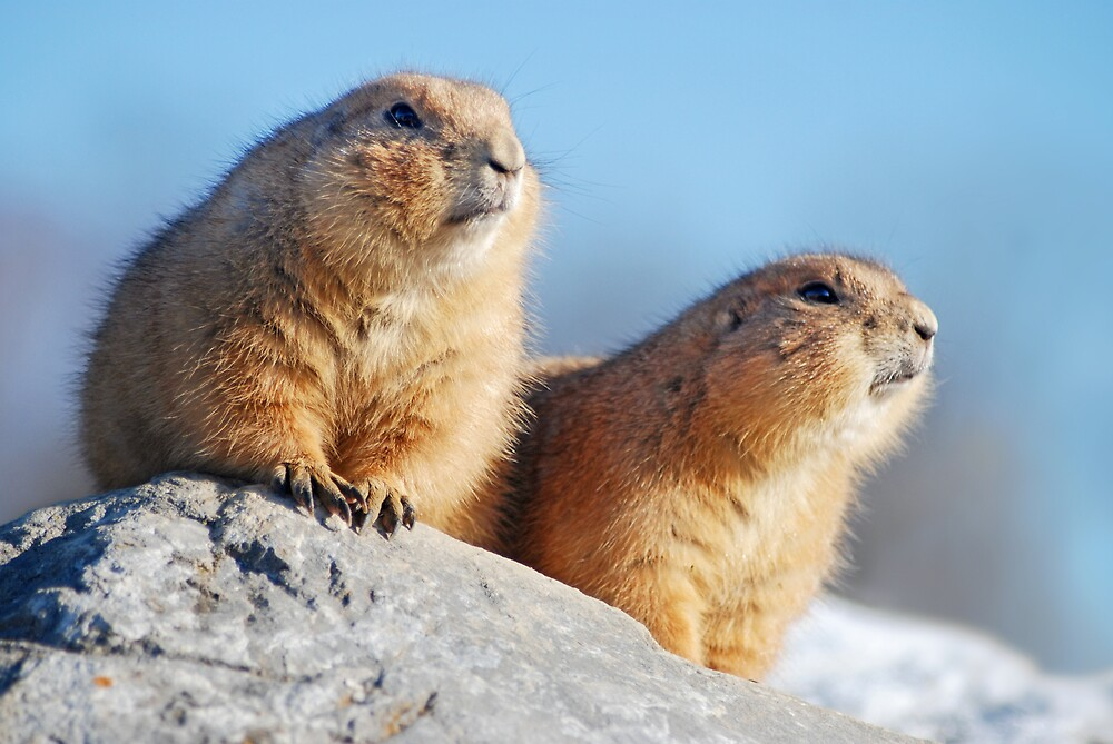 prairie dogs in the outlook by mc27