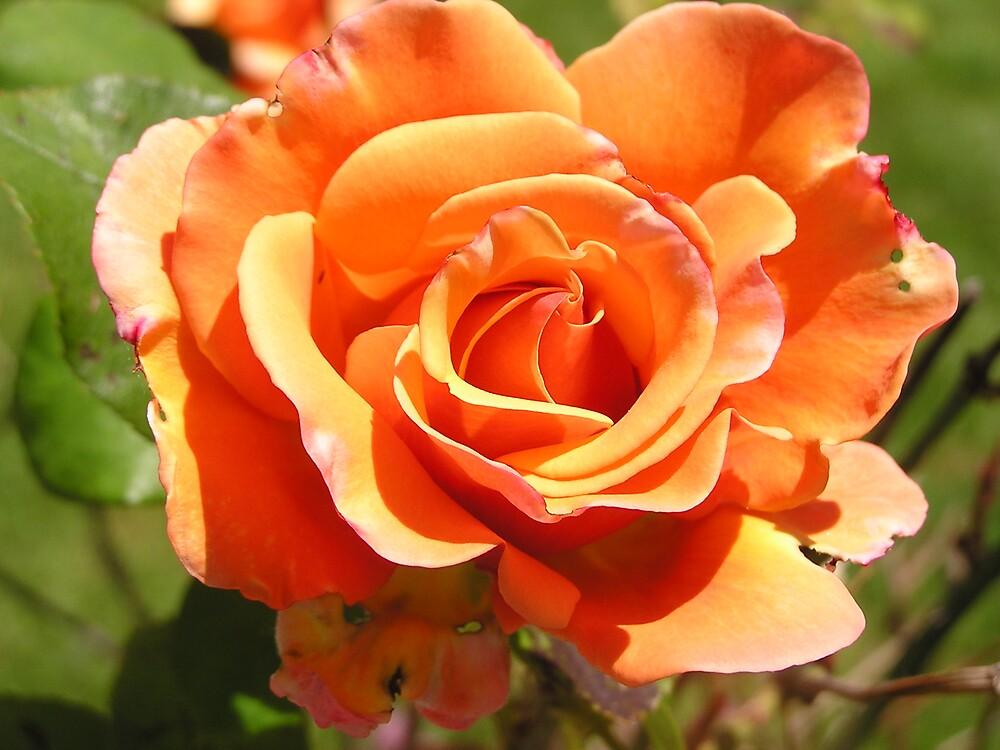 BIG BEAUTIFUL APRICOT ROSE  by MsLiz