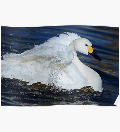 bewick's swan Poster