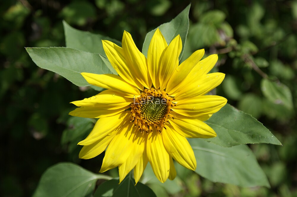 Sunflower by LaRae