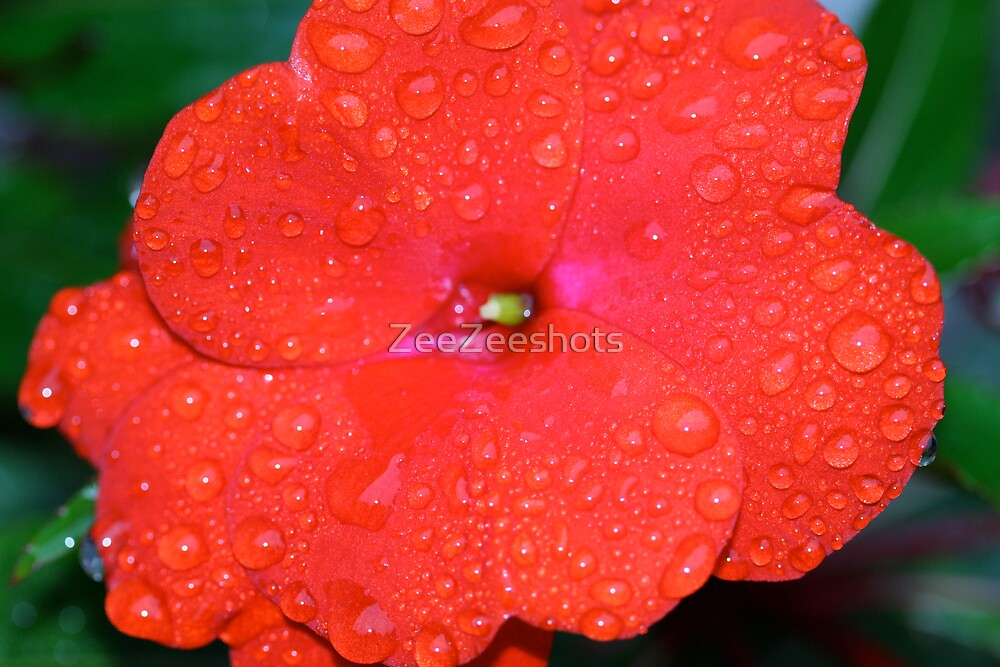 A red flower by ZeeZeeshots