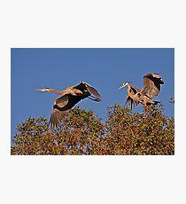 Herons Photographic Print