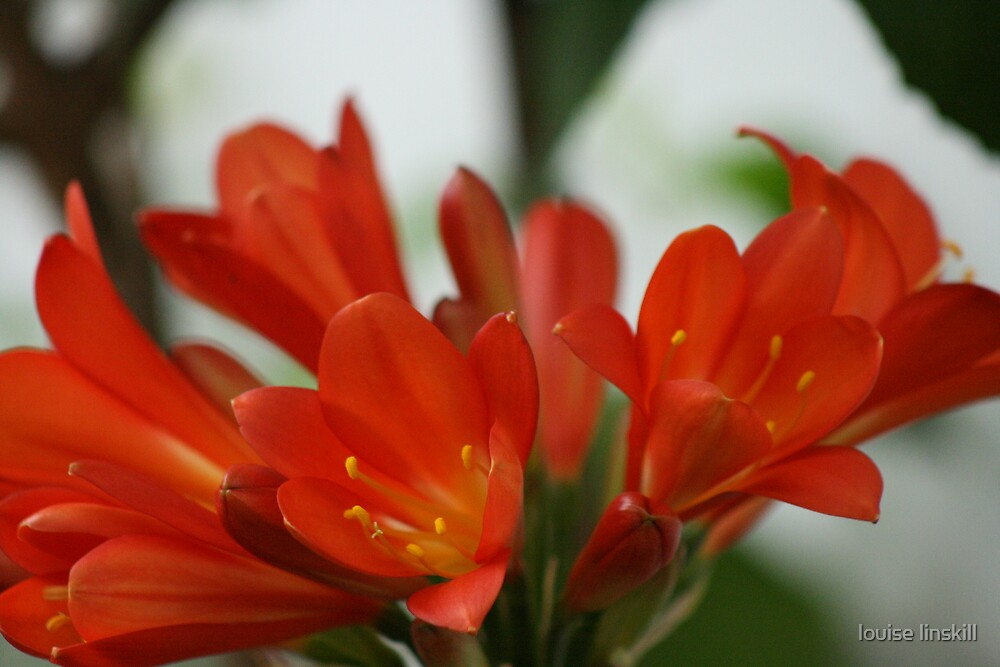 clivia by louise linskill