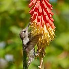 Anna's Hummingbird With Red Hot Poker by K D Graves Photography