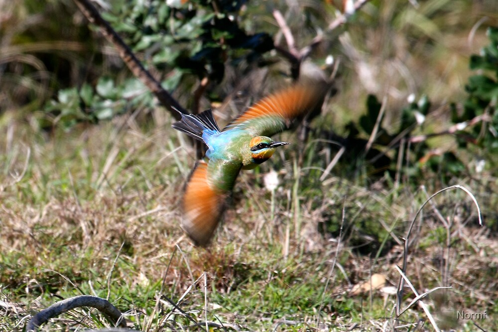 Rainbow Bee Eater on the hunt by Normf