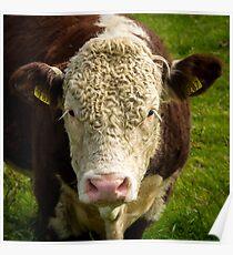 Irish Cow Poster