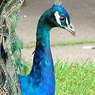 Peacock by Maureen Brittain