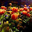 Flaming tulips by AquaMarina