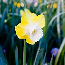 Daffodil by AquaMarina