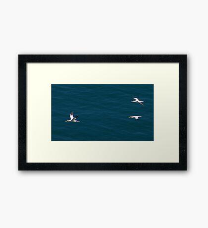 Gannet #3 Framed Print
